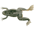Xenopus Frog ##STADE## - scale 71