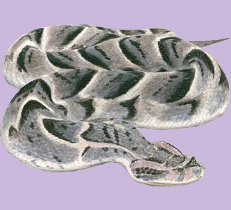 Take in a viper species reptile