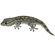 Gecko ##STADE## - scale 5